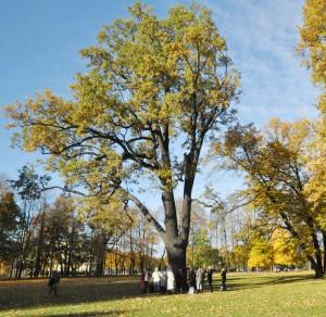 Знаменитый старый дуб отмечает юбилей 350-летия
