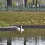 Лебеди Летний сад октябрь 2013