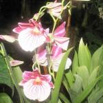 орхидеи 003_