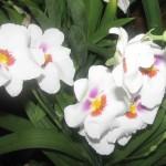 орхидеи 004_