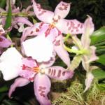 орхидеи 016_