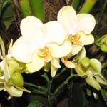 орхидеи 018_