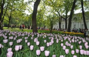 тюльпаны Елагин