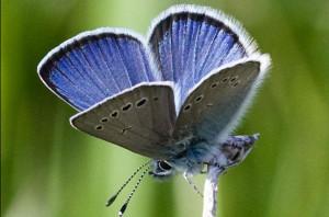 Бабочка - голубянка
