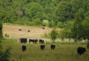 15 Коровы Лосево