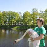 Лебеди Летнего сада Фото Калясиной Л.