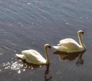 Лебеди Летнего сада DSC_0916