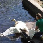 Лебеди_ _ Летнего сада Фото Калясиной Л