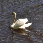 Лебедь Летнего сада Фото Калясиной Л.М