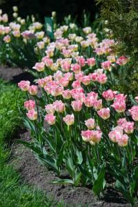 Тюльпаны DSC_9721
