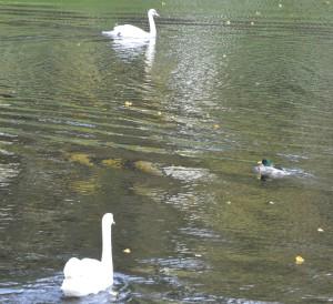 два лебедя в Летнем саду