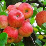 яблоки 99250747
